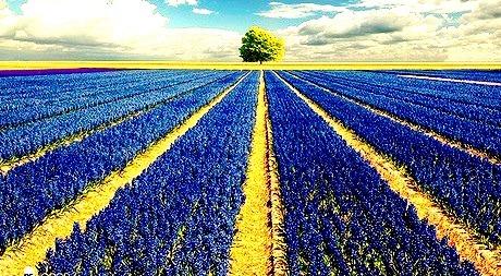 Hyacinth Field, The Netherlands