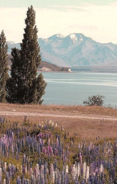 Lupins at Lake Tekapo, South Island, New Zealand