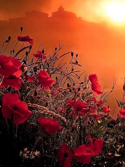 Poppy Field Sunset, Provence, France
